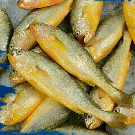 溫州甌海區 新鮮黃花魚(5斤1箱包郵)