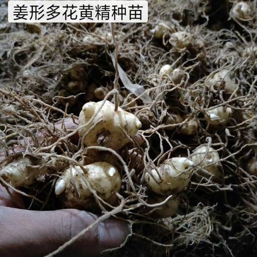 邵阳绥宁县 黄精种苗