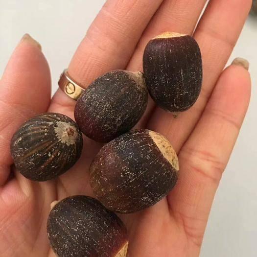 郑州二七区 美国橡树种子娜塔栎种子麻栎种子青冈栎种子包邮