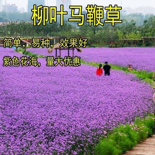宿迁沭阳县 柳叶马鞭草种子多年生宿根草花种子景观绿化花海婚纱摄影观花种