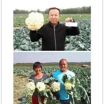 白面青梗松花菜种子 精选青松60松花菜种子高产抗病性强基地首选