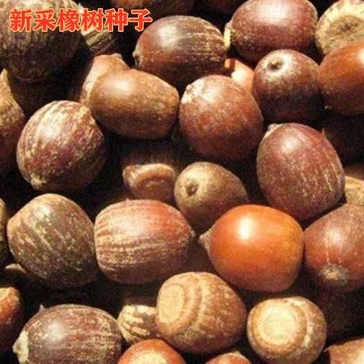 南充嘉陵区 美国橡树种子娜塔栎种子麻栎种子青冈栎种子包邮