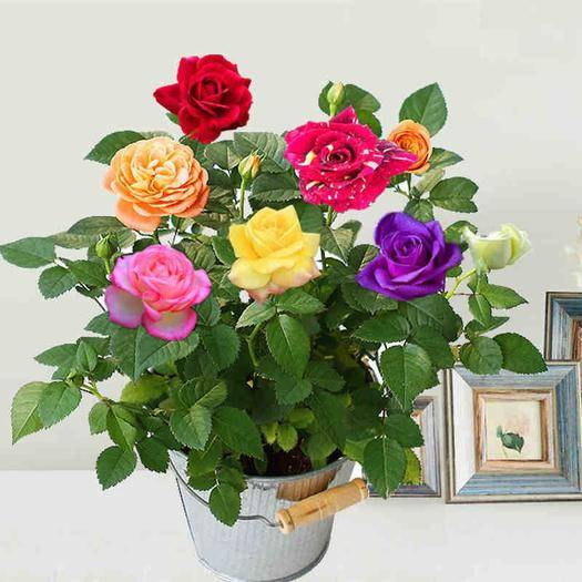 茂名高州市 進口五色月季苗,玫瑰苗,,四季開花 好成活,全國包郵