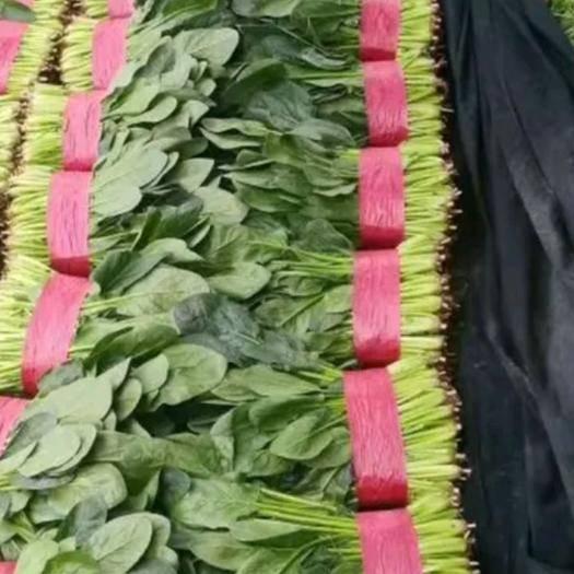 滨州惠民县 菠菜(精品)万亩菠菜基地,保质保量,规格齐全,代发全国!