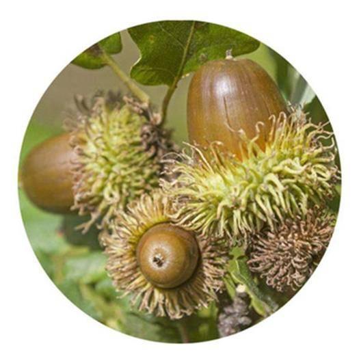 成都锦江区 橡树种子娜塔栎种子麻栋种子青冈栎种子新种子包邮
