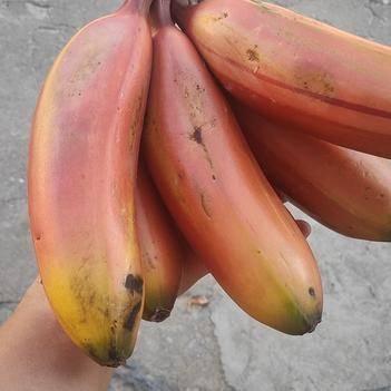 红香蕉(美人蕉)