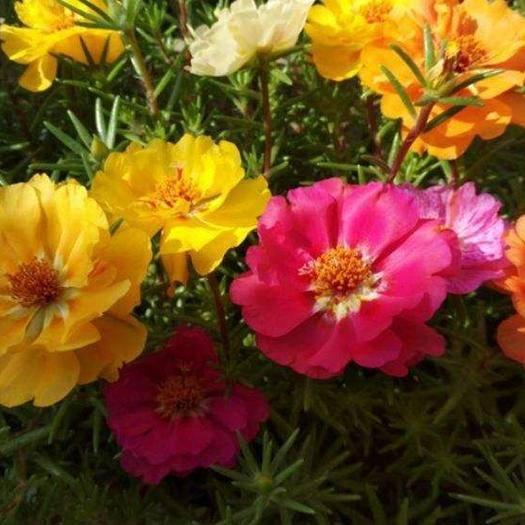 保定安国市 太阳花,太阳花种子