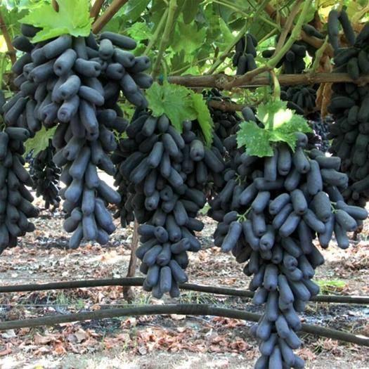 平邑縣 甜蜜藍寶石葡萄苗馬奶葡萄 嫁接葡萄苗 當年結果 產地直發