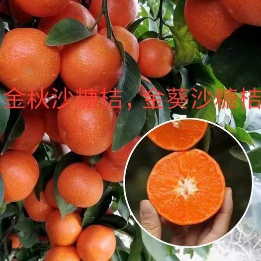 平邑县沙糖桔苗 高度1米左右明年结果苗,金秋,金葵沙糖桔,包品种包成*