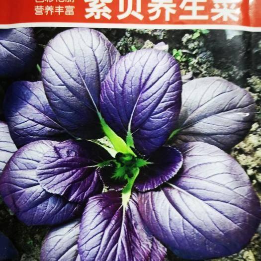宿遷沭陽縣生菜籽 紫貝養生菜顏色鮮艷營養豐富