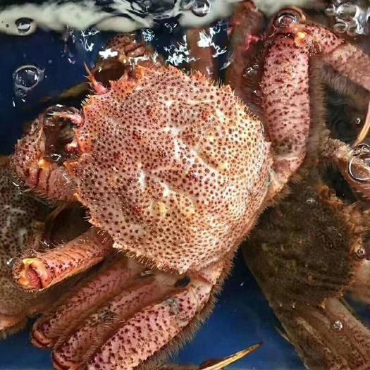 上海青蟹 红毛蟹