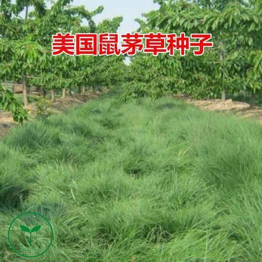 宿迁沭阳县 进口鼠茅草种子果园树林绿肥鼠茅草草籽正品包邮