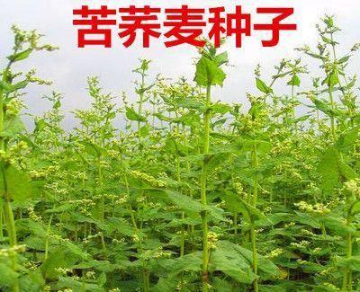 宿迁沭阳县 荞麦种子苦荞麦甜荞麦荞麦茶抗倒扶抗病抗虫包邮