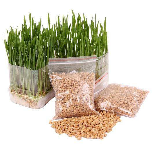 隴南西和縣 小麥種子抗倒伏1號 抗13種病害