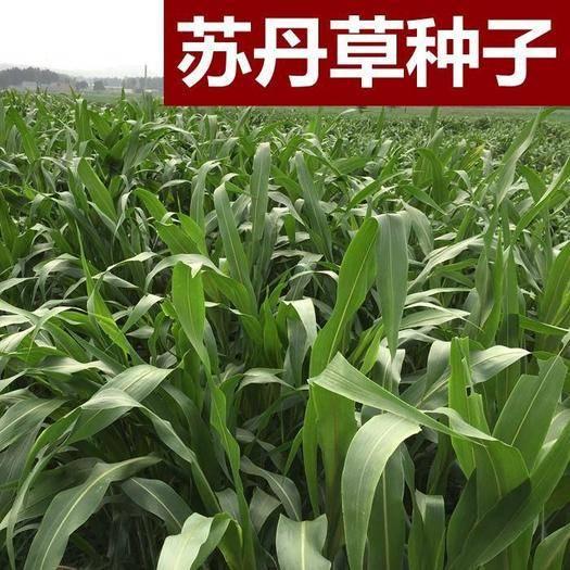 宿迁沭阳县 苏丹草种子优质进口高产鱼草草籽猪牛羊家禽饲料牧草草籽