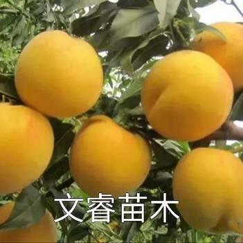 黄桃树苗 黄金蜜桃   果肉金黄,香甜可口。