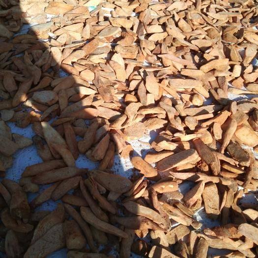瓜州縣 冬季鎖陽片色片好含量高