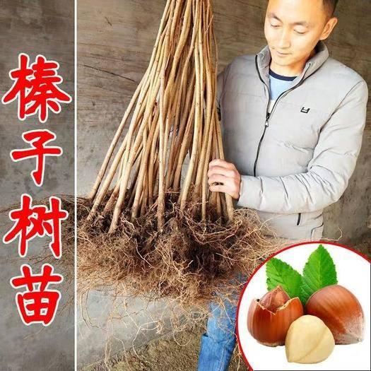 平邑縣 榛子樹苗南北方種植