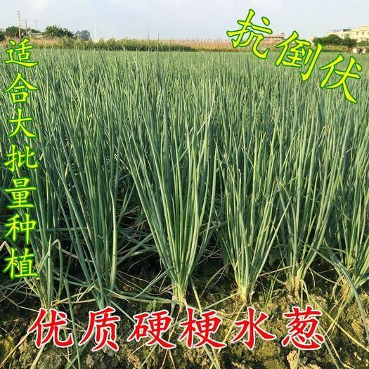南靖县香葱种子 四季香葱 水葱 优质葱籽 葱种 雨天不软尾 农户认可品种