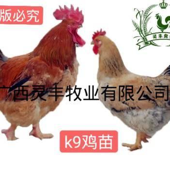 【快大型K9肉鸡苗】麻黄882鸡苗 灰羽k9鸡苗901鸡苗