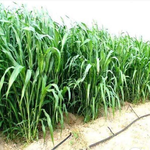 宿迁宿豫区 苏丹草种子高梁属牧草本属植物全世界