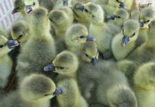 南宁西乡塘区郎德鹅苗 场家直销 广西区内一百只以上包运费 出壳包打疫苗 包运输损耗