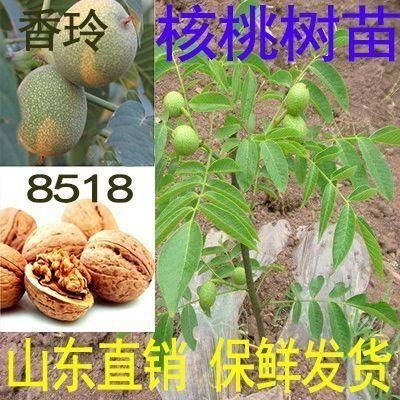 平邑县8518核桃苗 薄皮香玲核桃8518薄壳香核桃树苗
