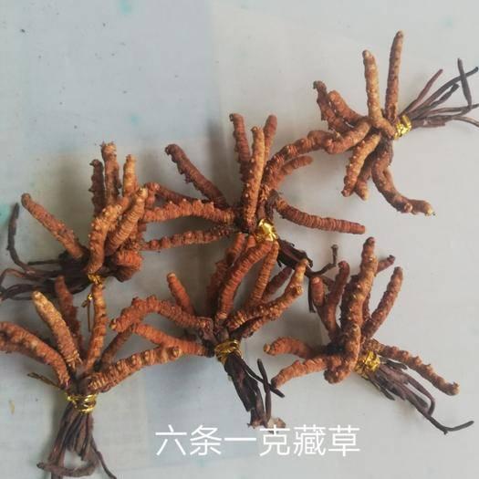 成都 西藏那曲冬蟲夏草無斷草癟草6條一克 精選貨10元/根包郵