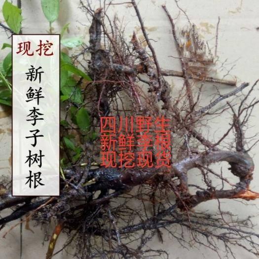 通江县栗子树枝 李子树根   *生李子树根  现挖现发货