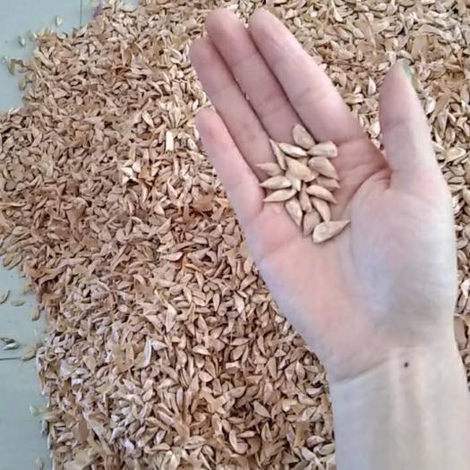 汝南县雪松种子 国产雪松籽,大量供应