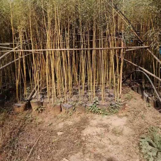 昆明 金竹袋苗每袋三棵