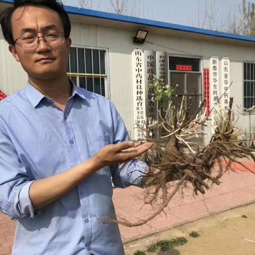泰安泰山区钙果种子 亩产8000斤 纯收入过万