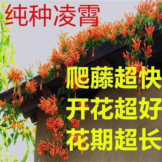 临沂平邑县凌霄苗 凌霄花 四季爬藤植物 庭院花园南北方种植 耐寒耐旱花期超长