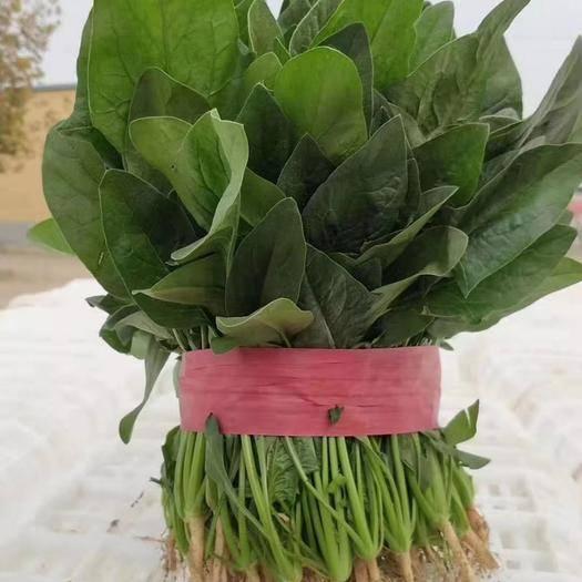 济宁金乡县 圆叶菠菜代发全国各地市场  质量好
