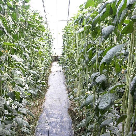 商丘夏邑县 绿长丰豆角种子,翠绿条,条长90,无鼠尾,无筋无纤维