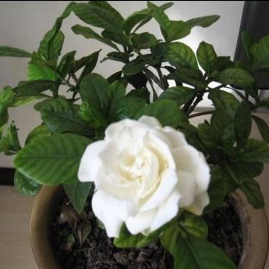 平邑縣 精品牡丹梔子花.保品種.保成活.花期5-6月8-9月