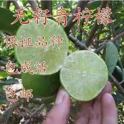 平邑县 青柠檬苗 优质品种苗 保证成*率 免费种植技术