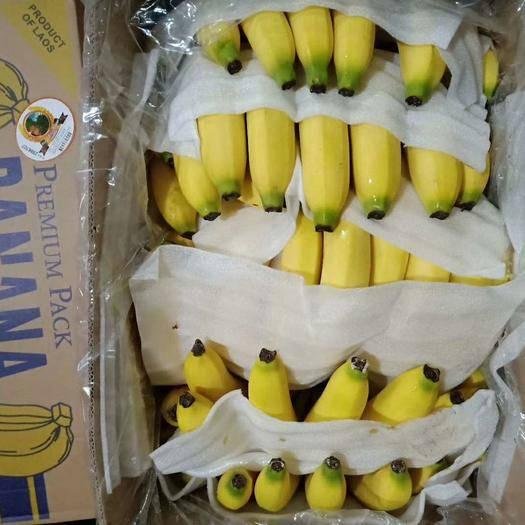 邯郸永年区老挝香蕉 精品云南广西不受寒纯三把蕉 质量有保证 果面干净 不硬心