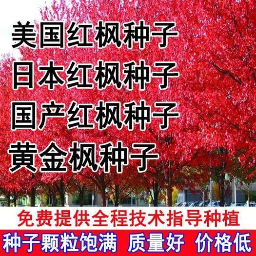 沭阳县 进口美国红枫种子 红枫树种子枫叶鲜红 美国红枫种子 林木种子