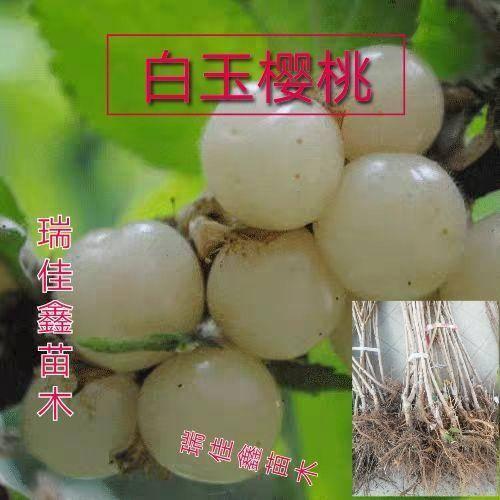 临沂平邑县 白玉樱桃苗,基地供应,现挖现发,保品种,包成活