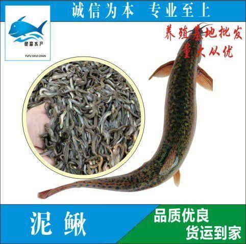 广州花都区 泥鳅苗 台湾一号泥鳅苗 鱼苗