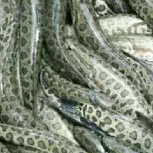 楚雄市 乌鱼,成品鱼及鱼苗
