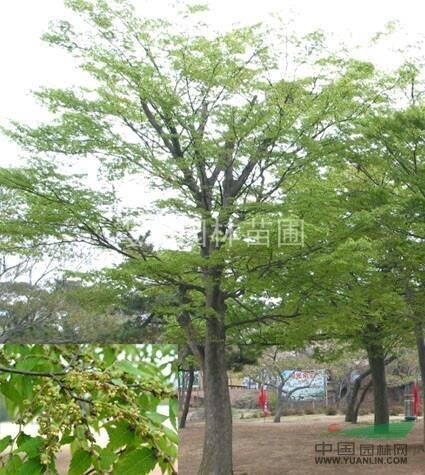 徐州邳州市朴树种子 普树苗,普树,保证质量,价格便宜,欢迎选购!8公分左右