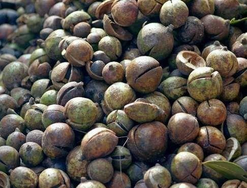 杭州萧山区 茶树种子   新种子  颗粒饱满  提供种植技术