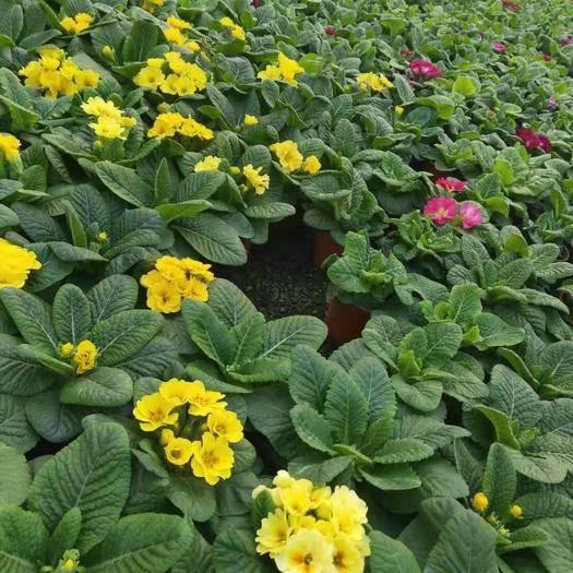濰坊青州市探春花 報春花 年景花 花卉盆景 盆栽植物
