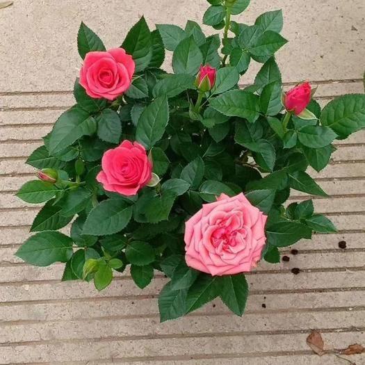 昆明晉寧區 各色鉆石玫瑰盆栽顏色混搭30盆一件
