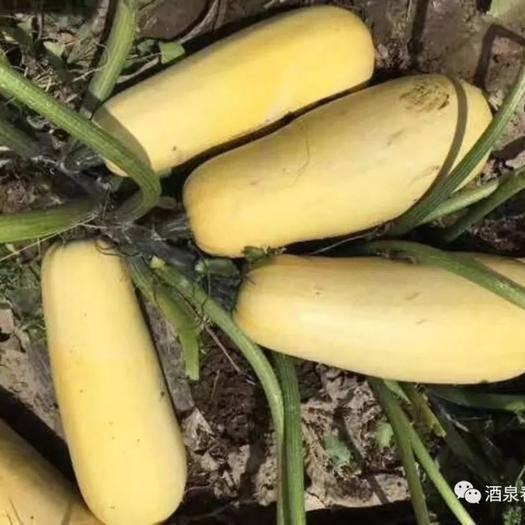 酒泉亚腰葫芦种子 打籽西葫芦一春旺99,高产抗病,是种打籽西葫芦农户的首先品种