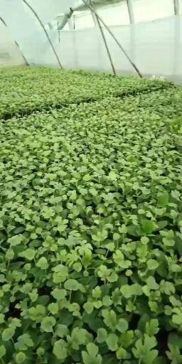 宿州埇桥区 葫芦砧木嫁接早佳8424西瓜苗,一级苗,墨绿色,子叶瓣完好