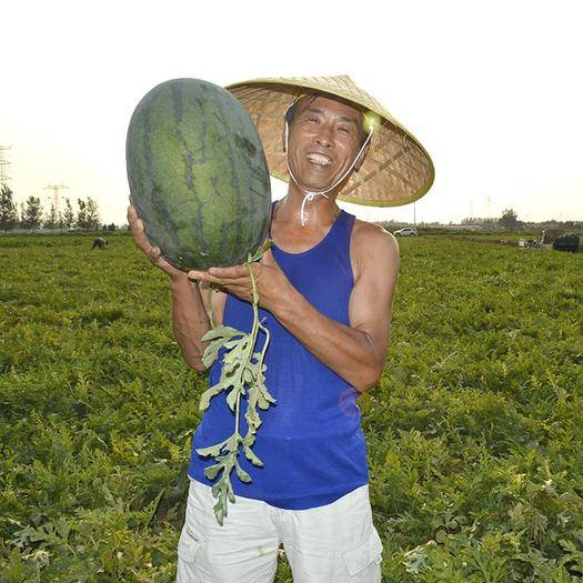 商丘夏邑县 烈日懒汉西瓜种子,免整枝,高抗重茬,大红瓤糖度13.5