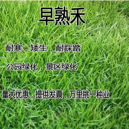 宿迁沭阳县早熟禾种子 早熟禾草籽草坪种子孑矮生四季常青草坪籽庭院别墅绿化专用耐践踏